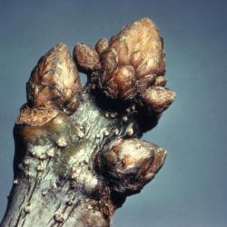 Quercus bicolor (swamp white oak), bud detail