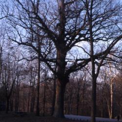 Quercus alba (white oak), fallen acorn detail