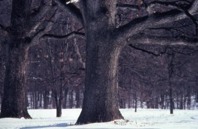 Quercus alba (white oak), large trunk, early spring