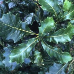 Quercus coccinea  (scarlet oak), leaves