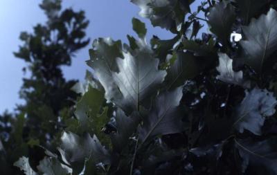 Quercus bicolor (swamp white oak), leaves detail