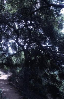 Quercus agrifolia (California live oak), habit, summer
