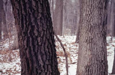 Quercus (oak), section of mature trunks