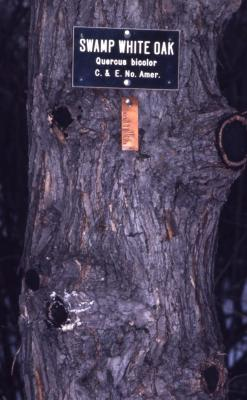 Quercus bicolor (swamp white oak), bark detail with scars and plant labels