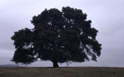 Quercus agrifolia (California live oak), habit, spring