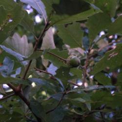 Quercus coccinea (scarlet oak), habit, late summer
