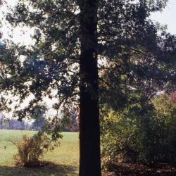 Quercus montana (Chestnut Oak), fruit, immature