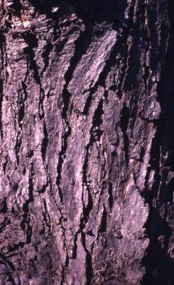 Quercus bicolor (swamp white oak), bark detail