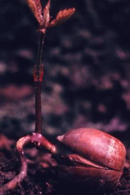 Quercus (oak), seedling
