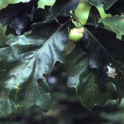 Quercus acerifolia (Maple-leaved Oak), leaf, summer