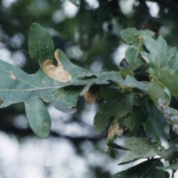 Quercus alba (white oak), leaf cluster detail