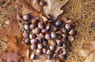 Quercus (oak), fallen acorns detail