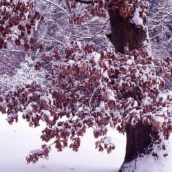Quercus alba (white oak), galls near trunk base