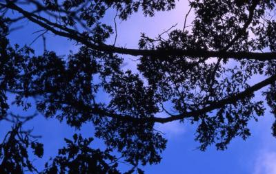 Quercus alba (white oak), section of horizontal branches