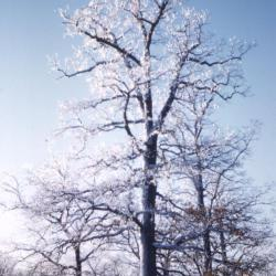 Quercus alba (white oak), diseased leaves