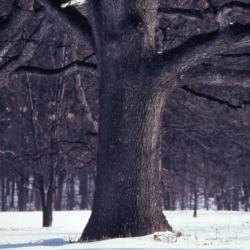 Quercus alba (white oak), mature trunk base
