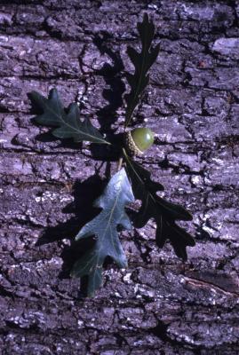 Quercus alba (white oak), acorn, leaves and bark detail