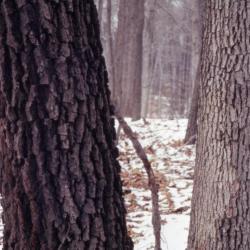 Quercus ellipsoidalis (Hill's Oak), bud, terminal