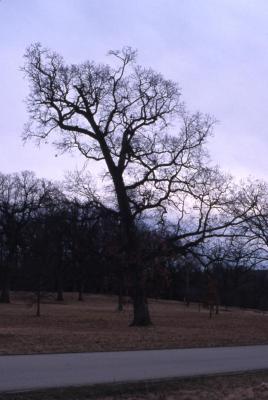 Quercus alba (white oak), habit, early spring