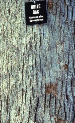 Quercus alba (white oak), bark detail with signmarker