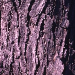 Quercus coccinea  (scarlet oak), young acorns detail
