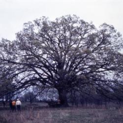 Quercus acerifolia (Maple-leaved Oak), bark, mature