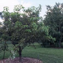 Quercus acerifolia (Maple-leaved Oak), habit, summer