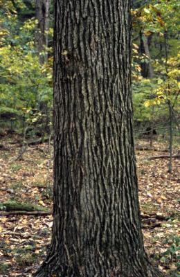 Quercus bicolor (swamp white oak), trunk detail