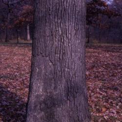 Quercus bicolor (swamp white oak), acorn and leaves detail