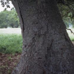 Quercus alba (white oak), galls on trunk