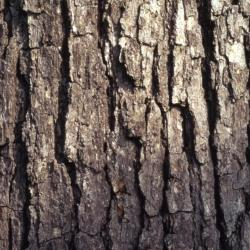 Quercus alba (white oak), bark detail