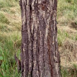 Quercus aliena (oriental white oak), leaves detail