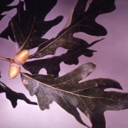 Quercus acerifolia (Maple-leaved Oak), bark, branch