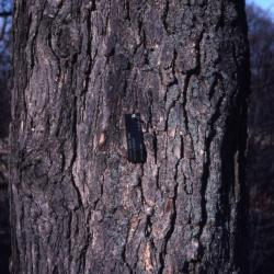 Quercus coccinea (scarlet oak), trunk base with chestnut blight