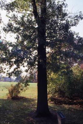 Quercus (oak), habit, early fall