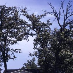 Quercus montana (Chestnut Oak), habit, fall