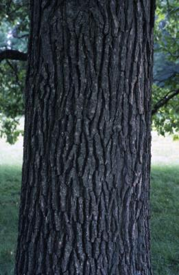 Quercus bicolor (swamp white oak), mature trunk