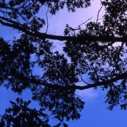 Quercus aliena (oriental white oak), bark detail