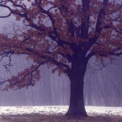 Quercus alba (white oak), acorn and leaves detail