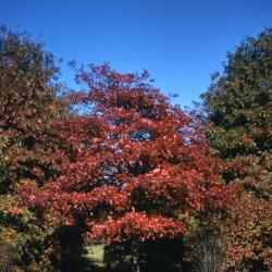 Quercus falcata (southern red oak), leaves detail
