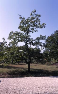 Quercus dentata (Daimyo oak), habit, early fall