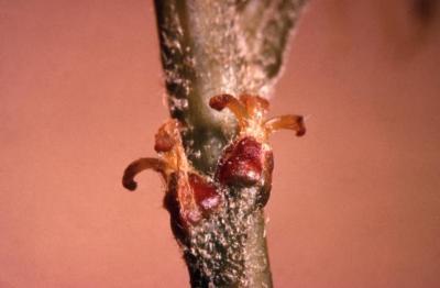Quercus coccinea  (scarlet oak), female flowers detail