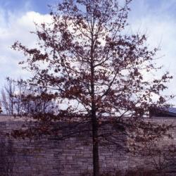 Quercus ellipsoidalis (Hill's Oak), flower, pistillate