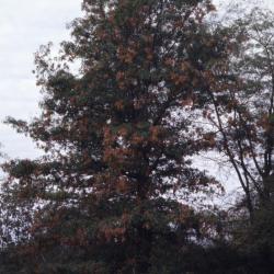 Quercus alba (White Oak), bark, branch