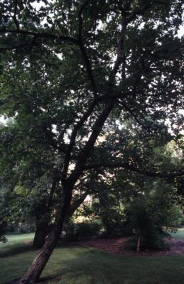 Quercus dentata (Daimyo oak), trunk and branches