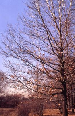 Quercus coccinea (scarlet oak), almost bare branches and trunk