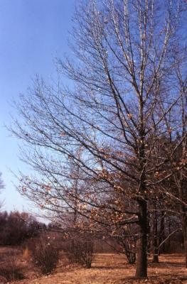 Quercus coccinea (scarlet oak), almost bare tall tree