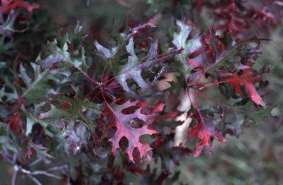 Quercus coccinea  (scarlet oak), fall leaves