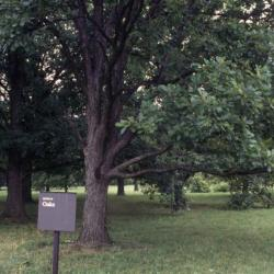 Quercus ellipsoidalis (Hill's Oak), leaf, spring