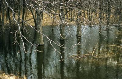 Quercus bicolor (swamp white oak), bare trees in flooded woodland